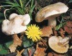 Майский гриб. Классификация гриба. (фото)
