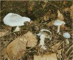 Гриб Говорушка анисовая. Классификация гриба. (фото)
