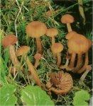 Гриб Лаковица лаковая, лаковица розовая. Классификация гриба. (фото)