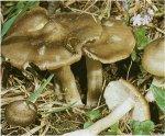 Гриб Эйтолома съедобная, энтолома садовая. Классификация гриба. (фото)