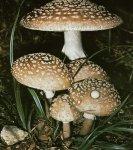 Гриб Мухомор серо-розовый, мухомор краснеющий. Классификация гриба. (фото)