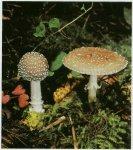 Гриб Мухомор пантерный. Классификация гриба. (фото)