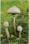 Гриб-зонтик пестрый. Классификация гриба. (фото)