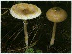 Гриб-зонтик сосцевидный. Классификация гриба. (фото)