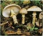 Гриб Лепиота шероховатая. Классификация гриба. (фото)