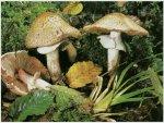 Гриб Шампиньон лесной. Классификация гриба. (фото)