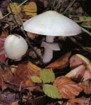 Гриб Шампиньон полевой. Классификация гриба. (фото)