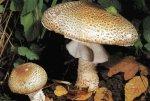Гриб Шампиньон августовский. Классификация гриба. (фото)