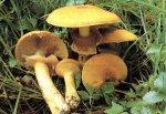 Гриб Феолепиота золотистая, чешуйчатка травяная. Классификация гриба. (фото)