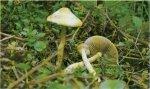 Гриб Агроцибе ранняя. Классификация гриба. (фото)