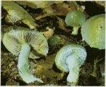 Гриб Строфария сине-зеленая. Классификация гриба. (фото)