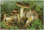 Гриб Строфария морщинисто-кольцевая, кольцевик. Классификация гриба. (фото)