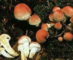 Гриб Ложноопенок кирпично-красный. Классификация гриба. (фото)