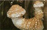 Гриб Чешуйчатка разрушающая. Классификация гриба. (фото)