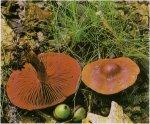 Гриб Паутинник киноварно-красный. Классификация гриба. (фото)