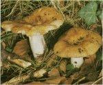 Гриб Валуй, сопливик. Классификация гриба. (фото)