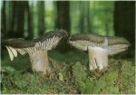 Гриб Сыроежка чернеющая. Классификация гриба. (фото)