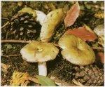 Гриб Сыроежка охряно-желтая. Классификация гриба. (фото)
