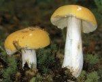 Гриб Сыроежка светло-желтая. Классификация гриба. (фото)