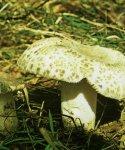 Гриб Сыроежка чешуйчатая, сыроежка зеленоватая. Классификация гриба. (фото)