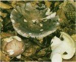 Гриб Сыроежка сине-зеленая. Классификация гриба. (фото)