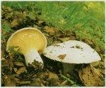 Гриб Скрипица, груздь войлочный. Классификация гриба. (фото)
