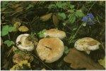Гриб Волнушка белая, белянка. Классификация гриба. (фото)