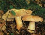 Гриб Груздь золотисто-желтый. Классификация гриба. (фото)
