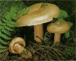 Гриб Рыжик. Классификация гриба. (фото)