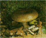 Гриб Груздь черный, чернушка. Классификация гриба. (фото)