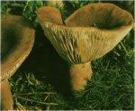 Гриб Груздь горький, горькушка. Классификация гриба. (фото)