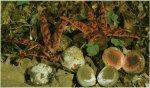 Гриб Цветохвостник Аргера. Классификация гриба. (фото)