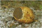 Гриб Ризопогон желтоватый, корневец желтоватый. Классификация гриба. (фото)