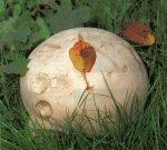 Гриб Дождевик гигантский. Классификация гриба. (фото)
