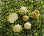 Гриб Порховка чернеющая. Классификация гриба. (фото)