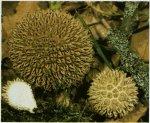 Гриб Дождевик ежевидноколючии. Классификация гриба. (фото)