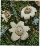 Гриб Звездовик бахромчатый. Классификация гриба. (фото)