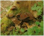 Гриб Аурикулия уховидная. Классификация гриба. (фото)
