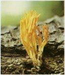 Гриб Калоцера клейкая. Классификация гриба. (фото)
