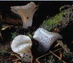 Гриб Тремеллодон студенистый. Классификация гриба. (фото)