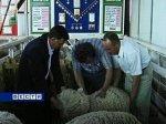 В Ростове-на-Дону открывается выставка племенных овец