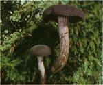 Гриб Лаковица аметистовая, лаковица лиловая. Классификация гриба. (фото)