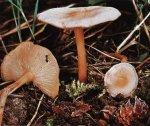 Гриб Коллибия дуболюбивая, опенок весенний. Классификация гриба. (фото)