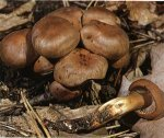 Гриб Коллибия веретеноногая. Классификация гриба. (фото)