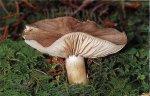 Гриб Удемансиелла широкопластинчатая. Классификация гриба. (фото)