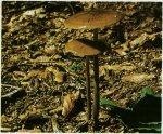 Гриб Удемансиелла корневая. Классификация гриба. (фото)