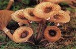Гриб Опенок осенний. Классификация гриба. (фото)