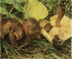 Гриб Рядовка тополевая. Классификация гриба. (фото)