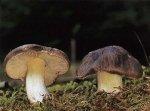 Гриб Рядовка серая. Классификация гриба. (фото)