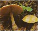 Гриб Меланолеука черно-белая. Классификация гриба. (фото)